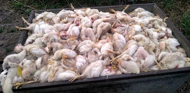 aves-mortas.2